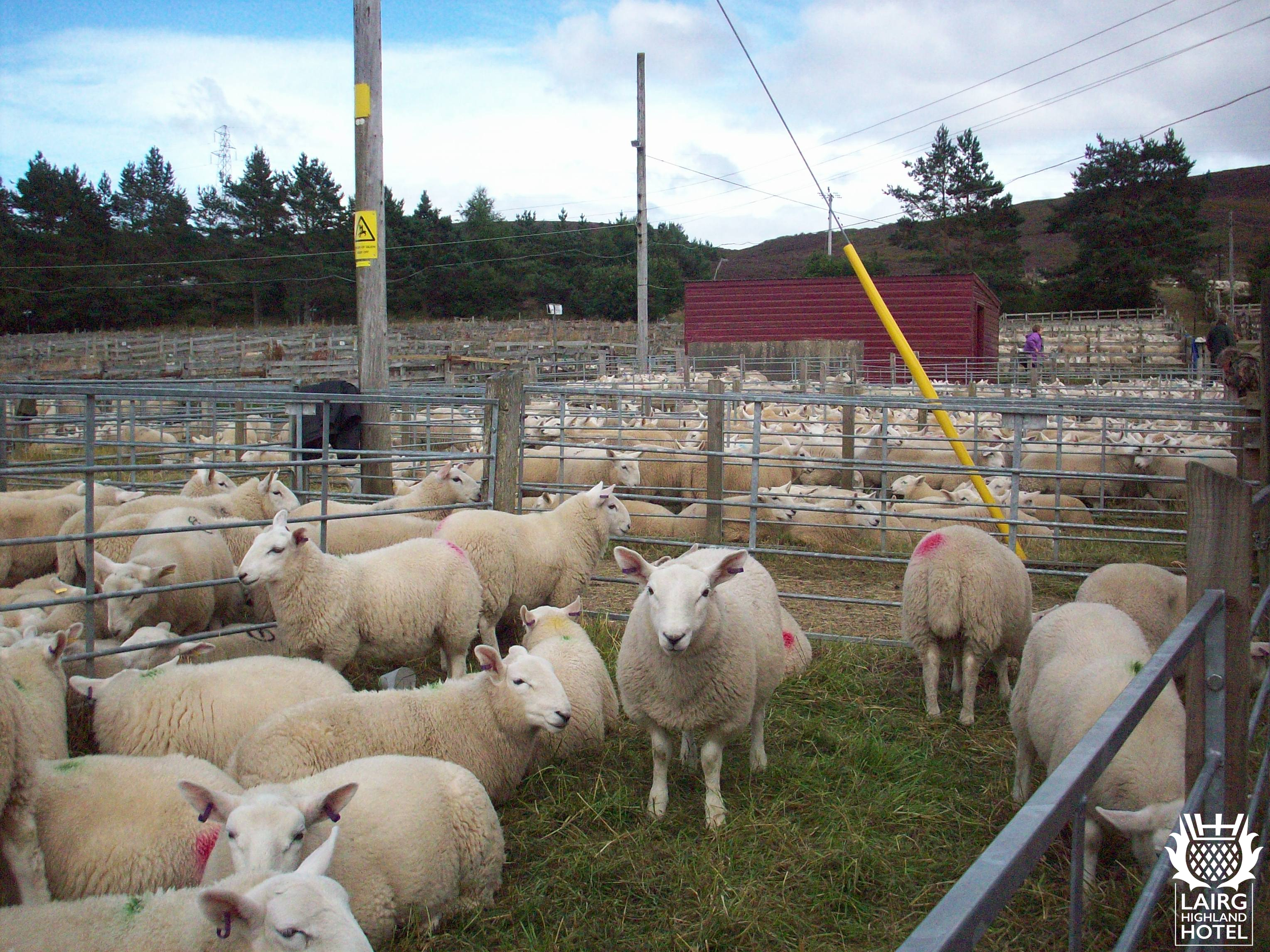 Annual Lamb Sale (2)-ga