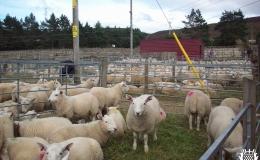 Annual Lamb Sale (2)-ga